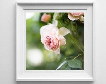 Nature Photography, Pink Rose, Original Print, Flowers, Landscape, Botanical Wall Art, Pretty Decor