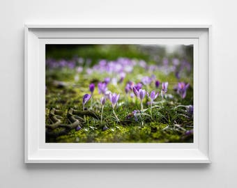 Nature Photography, Spring Crocuses, Purple, Original Print, Floral, Landscape, Botanical Wall Art, Pretty Decor