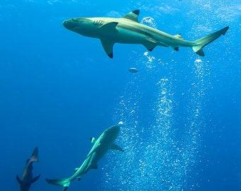 Sharks Cruising