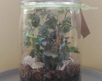 Gift original Ivy clear jar terrarium
