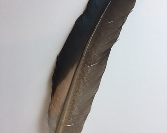 Possible pelican feather