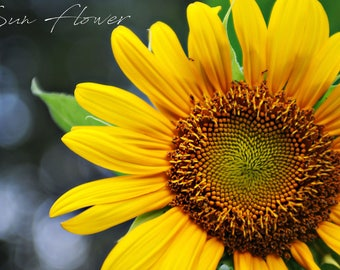 Sunflower, Filed of Flowers, Bee on flower, cotton, Art Photography, Prints