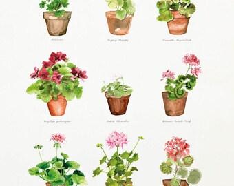 Pelargon / Geranium - Watercolor Poster Print - Wall Decor - Watercolor Painting - Watercolor Art - Flower