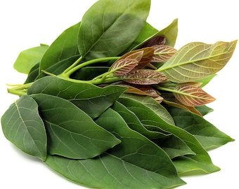 100 Fresh Avocado Leaves (around 6 oz) - Organically grown, No Pesticides Sprays from Fallbrook, Avocado Capital of the World