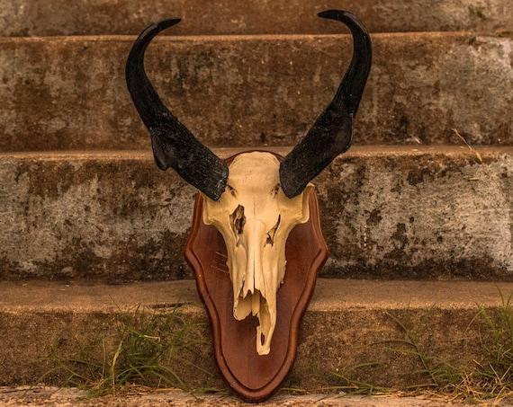 Large Vintage Pronghorn Antelope Skull Mount / Farmhouse / Taxidermy / Oddities / Animal Bone / Western / Horns Rack / Skull / Gothic Home