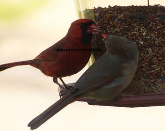 Cardinals at feeder