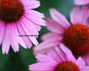Cone Flower closeup