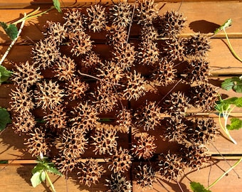 Witch's Burr, Sweet Gum Ball, Protection, Seed Pod Bag of 10
