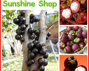 10/PCS Organic Hot Selling Mangosteen Seeds Delicious Fruit Seeds Home Garden Plants