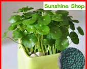 100pcs Dichondra repens Forst seeds, Horseshoe gold seeds, money grass seed