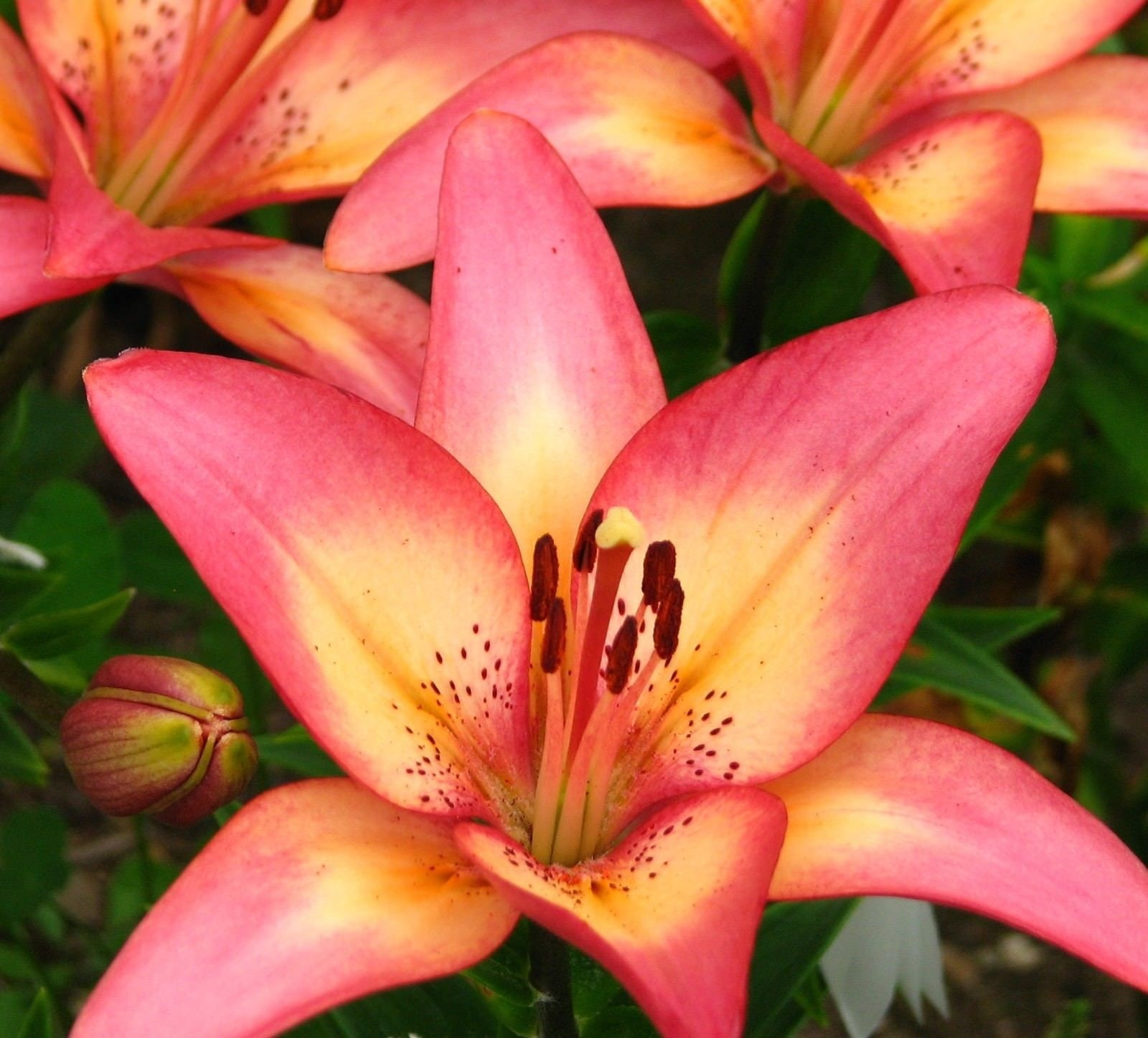 1 bulb royal sunset asiatic lily flower bulb etsy zoom izmirmasajfo