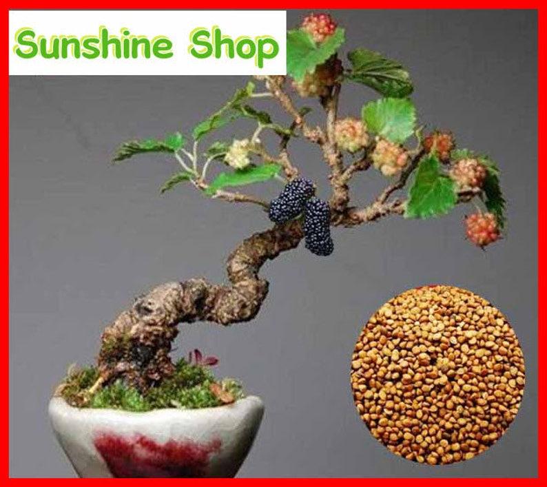 10pcs Black Mulberry Seeds Morus Nigra Tree Garden Bush Seed Diy Home Garden
