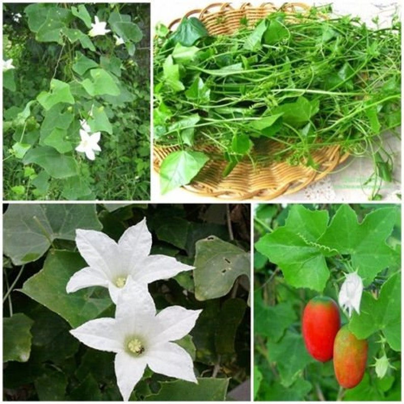 1 Pack Ivy Gourd Fresh Seeds,Coccinia Grandis