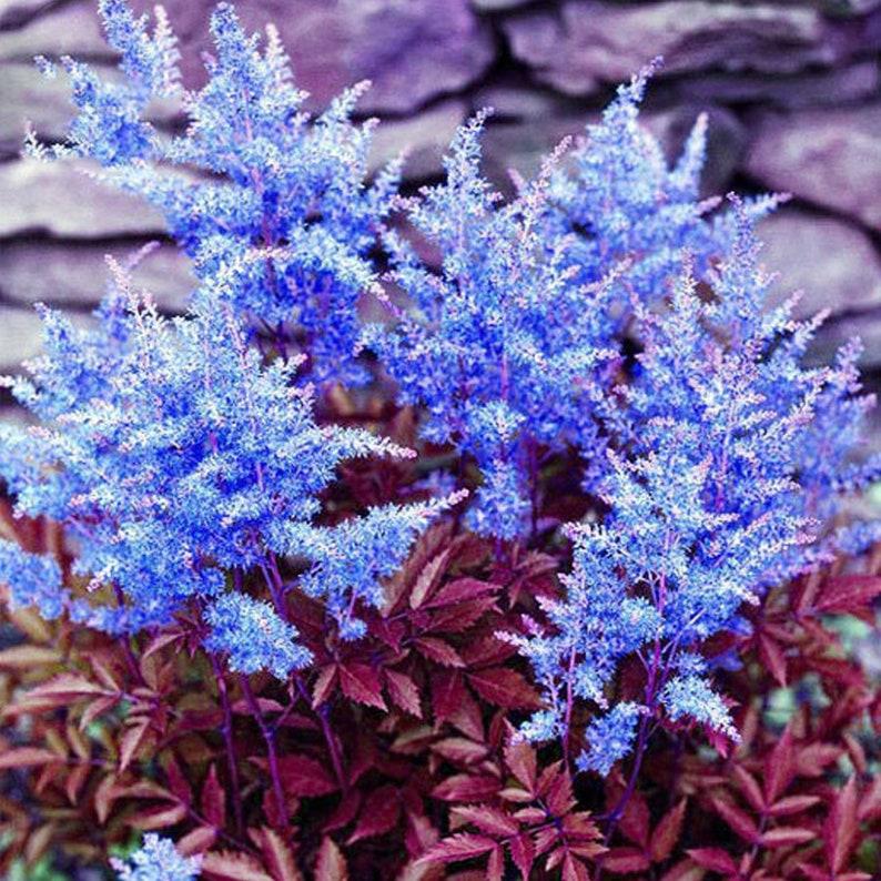 100 seeds Dark Blue Astilbe Chinensis Perennial Flower Seeds rare heirloom home garden flowers