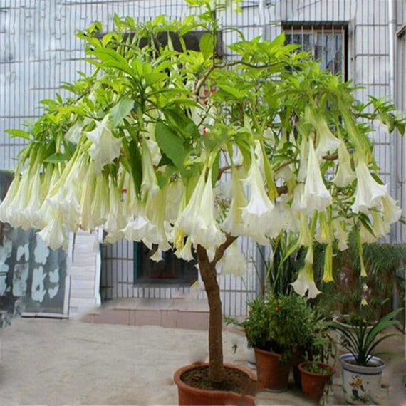 Datura Flower Seeds Tropical Plant Aromatic White Angels Etsy