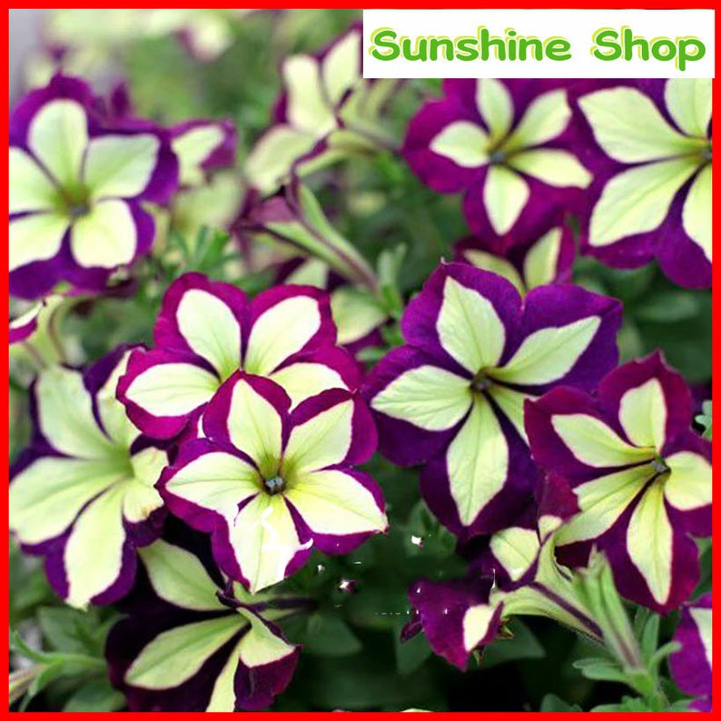 BUY 3 GET 2 FREE Pink Calibrachoa Organic 100 Pcs Seeds Garden Easy to Grow