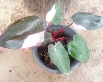 1 seedding lives Philodendron Erubescens , pink princess plant