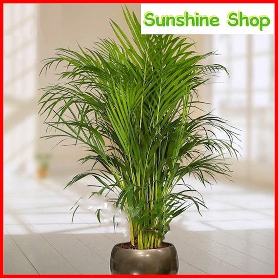 30pcs Bambus Palmen Samen Lady Palm Indoor Pflanzen Rhapis Etsy
