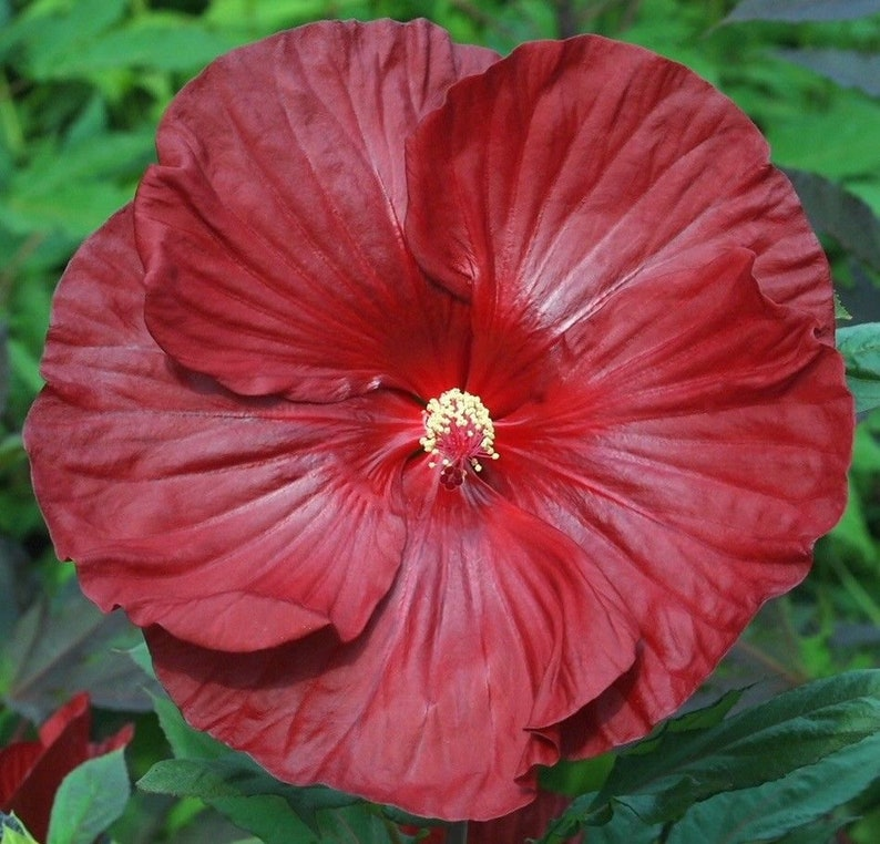 Cranberry Crush Hardy Hibiscus Plant In 45 Pot Etsy