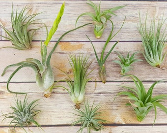 "15pc Air Plant Tillandsia ""TLC"" Assortment  / Second Chance Quality / Grade B Wholesale Tillandsias with Minor Imperfections"