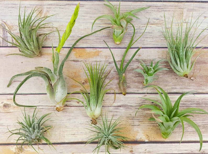 15 pc Air Plant Tillandsia Assorted Variety / Grade B Quality image 0