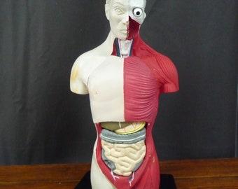 Vintage Anatomical Medical Model Sculpture