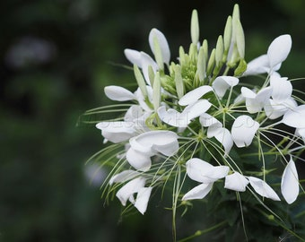 White flower photo fine art color shiny 20X30cm signed, wall decor floral art, gift original housewarming