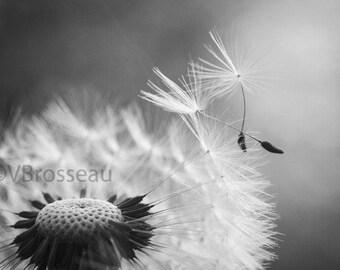 Photographie Pissenlit Noir Et Blanc Fleur Graines De Etsy
