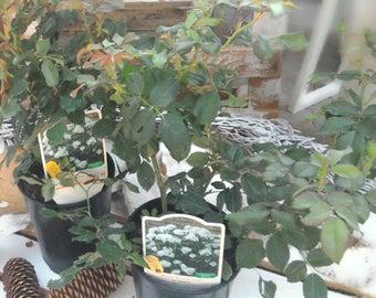 2 Piantevere patented real Roses bloom again