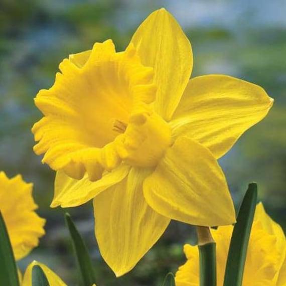Daffodil Flower Essence Etsy