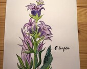 C. Latifola - Breedbarig Klokje