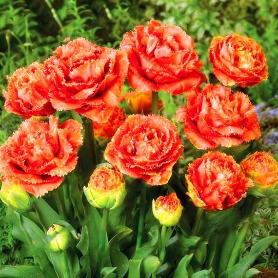 Cebule Tulipana Kwiaty Tulipanów Odmiany Cebulowe Kwiaty Etsy