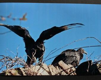"Original Fine Art Photographic Print - ""Duo"" - 8''x12'' Black Vultures / Nature"