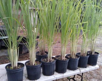 Citronella Grass LemonGrass Lemon Grass 10 growing plants fully rooted