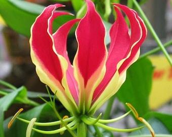 gloriosa lily 200 Gloriosa superba Seeds climbing lily  Seeds flame lily