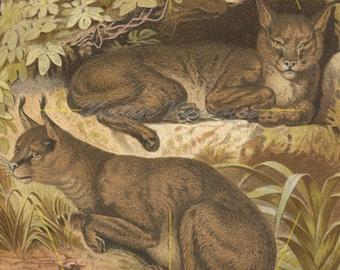 1873257ba11e Antique caracal print. Wild cat art print. Safari decor. Big cats. Wild cats  decor. Safari animals. Red lynx. Wild cat lover gift. 1883