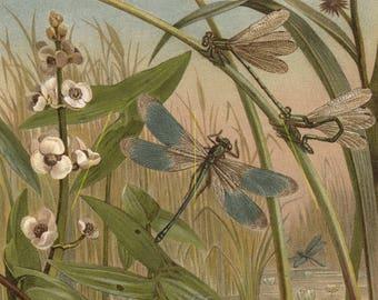 Antique dragonfly art print. Dragonfly wall art. Dragonfly gift. Dragonfly decor. Damselfly art. Dragonfly lover gift. Entomology print 1884
