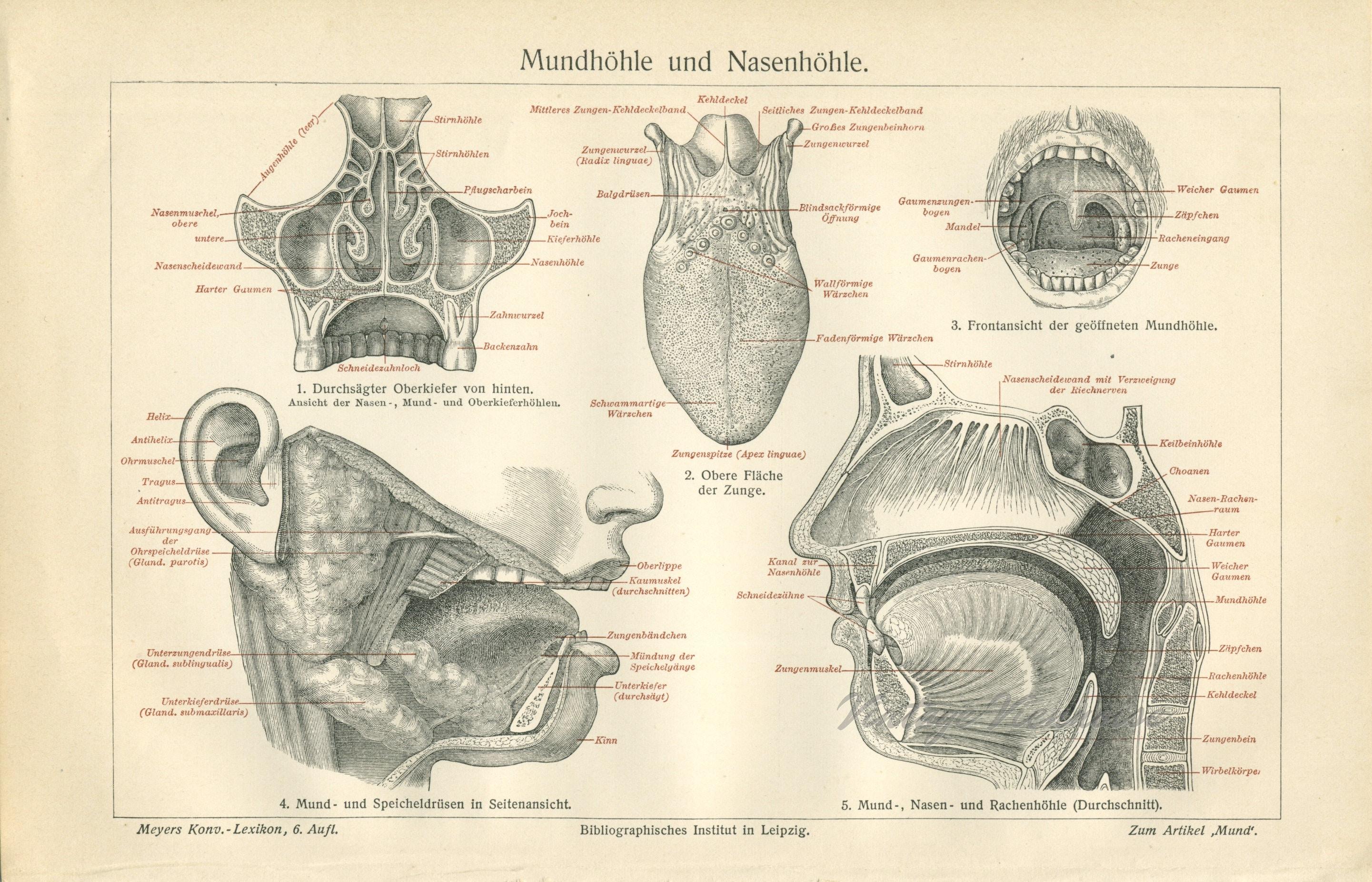Antike Gesichts Anatomie Druck. Anatomie-Geschenk.
