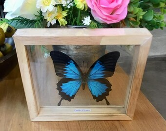 REAL ULYSSES BUTTERFLY Taxidermy Double Glass in Frame/BFD01C
