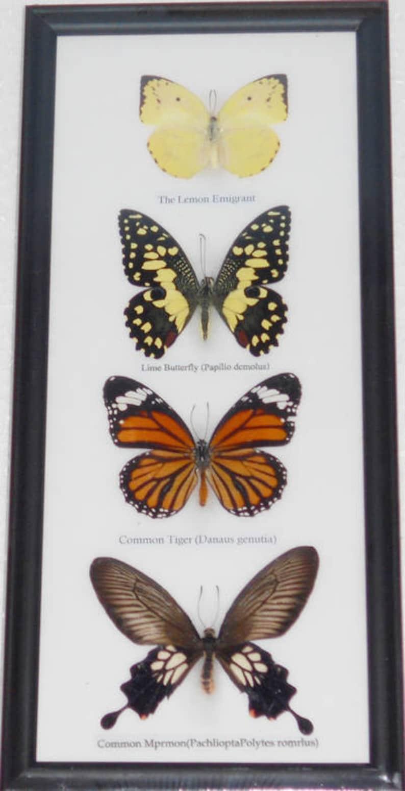 8 Butterfly Collection Set Plus 5 Butterfly /& Moth Specimen Box Set