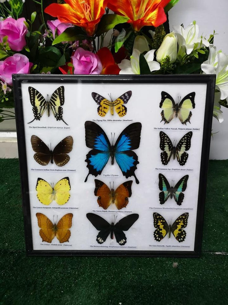 12 Butterfly In Frametaxmermy Wood Ft006 Real Mix Tr 8OPknXw0