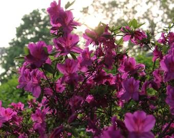 Flower Photography - Summer in Fuschia