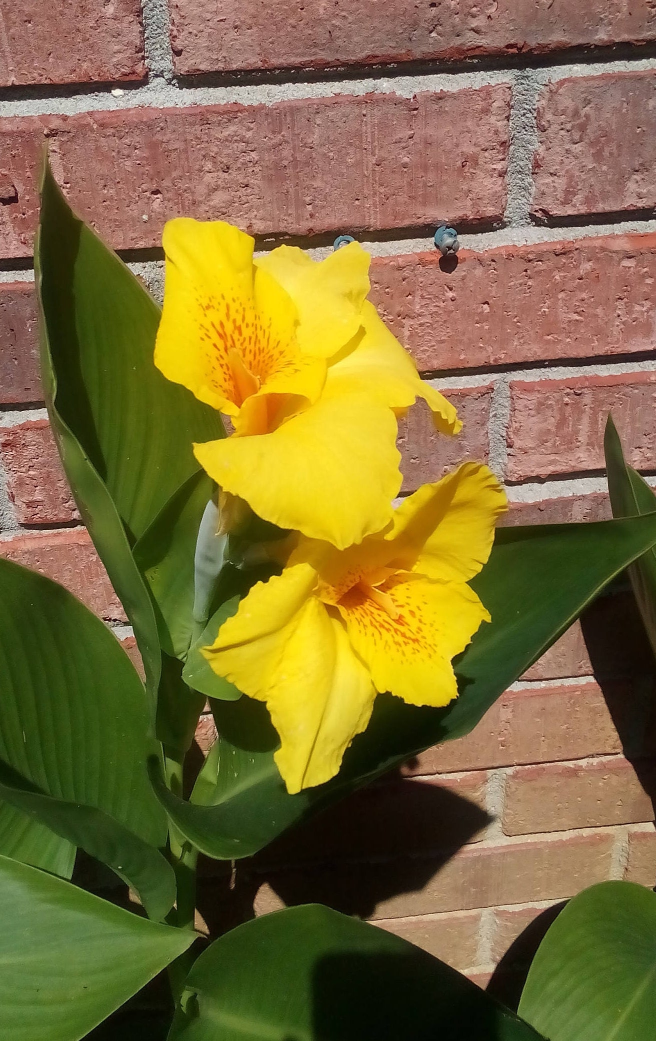 Yellow Canna Lily Perennial 4 Bulbs Easy Care Etsy