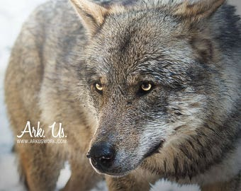 Tight of a Grey Wolf with yellow eyes Europe portrait poster