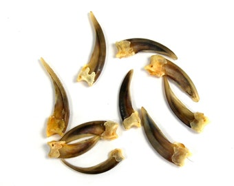 Badger Claw 1.5 Inches Long BUY MORE and SAVE Taxidermy Natural History Curiosity Cabinet Claws