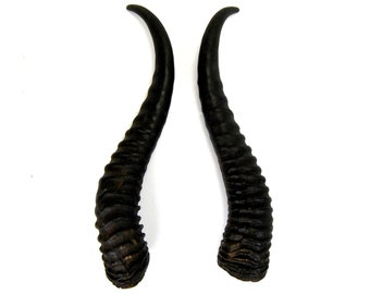 MATCHED PAIR 9.5 Inch Male Springbok Horns from Africa Maleficent Headdress