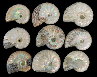 ONE 25mm to 30mm Opalized Ammonite Fossil White Silver Iridescent Iridescence Ammolite Rainbow Jewelry Pendant Supplies