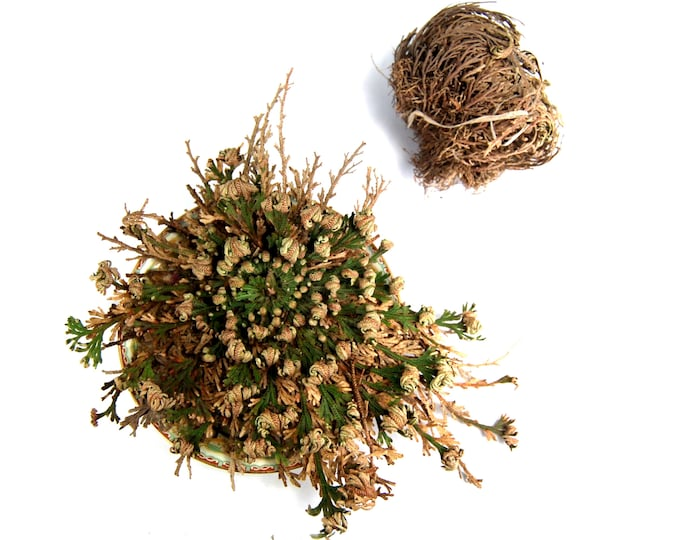 Featured listing image: LARGE Rose of Jericho Resurrection Flower Plant Selaginella Lepidophylla Blessing Money Love Abundance Fortune Drawing Dinosaur