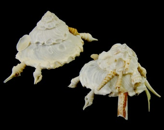 Lot of 2 Carrier Shell Xenophoridae Seashell Sea Shell Craft Decor Supplies Curiosity Cabinet Altar Seashells Natural History Unique Shells