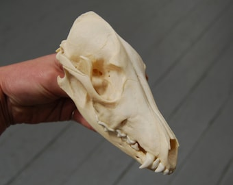 Genuine Black Backed Jackal Skull Curiosity Cabinet Real Taxidermy Interesting Bone